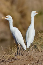 HW Cattle Egrets SM